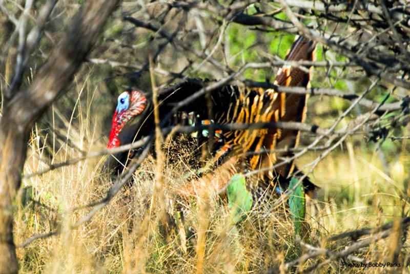 texas-turkey-hunt