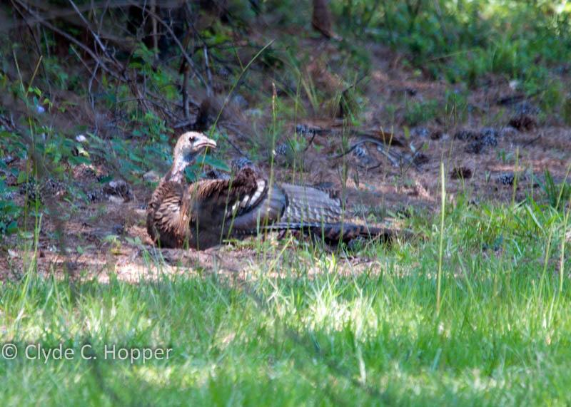 eastern-wild-turkey-hunting-20