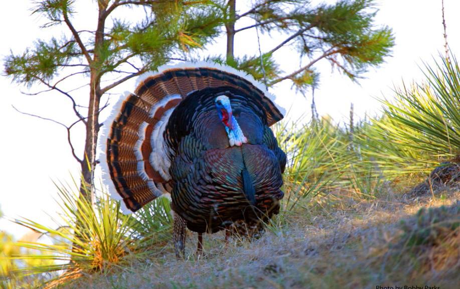 Montana Merriams Turkey Strutting