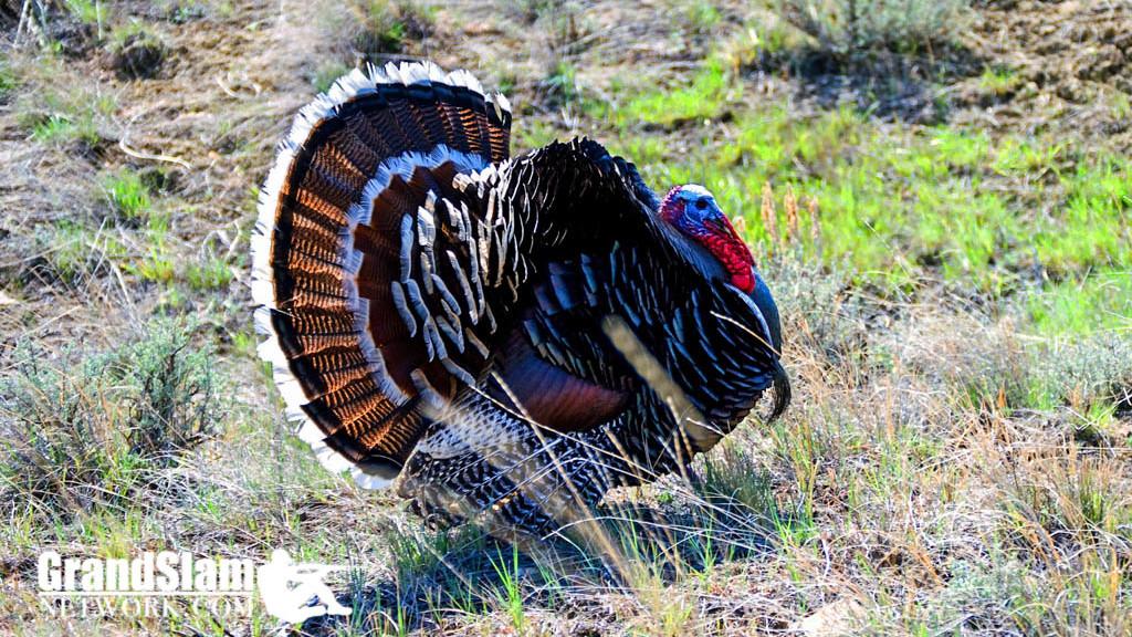 Hunting Montana Merriams