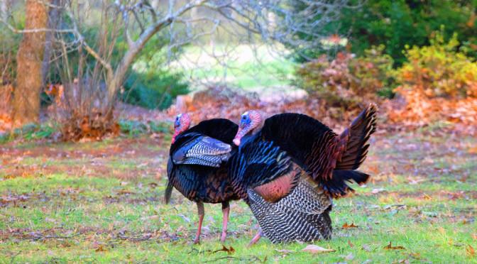 turkey fighting purrs