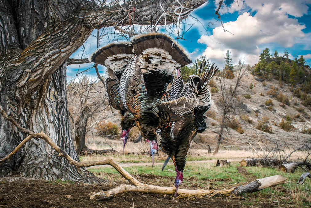 Montana Turkey Hunting