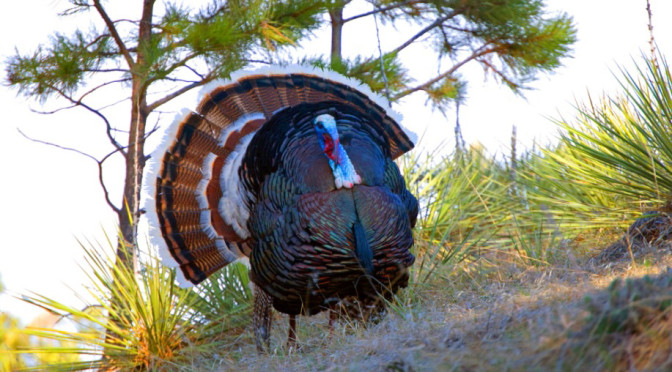 Montana Merriams Turkey Strutting